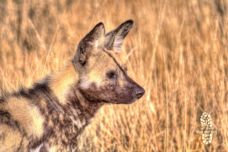 Safari Photography: Wild Dog, Etosha National Park, Namibia