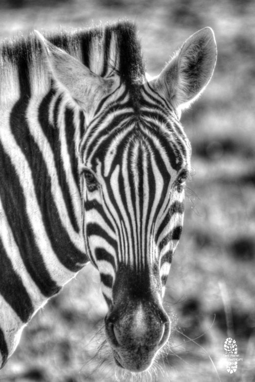 Safari Photography: Zebra, Milwane, Swaziland