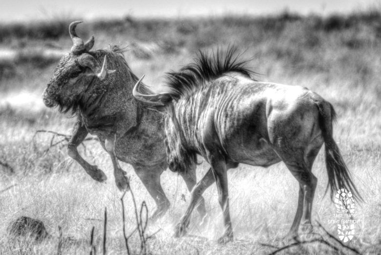 Safari Photography: Wildebeest, Etosha National Park, Namibia